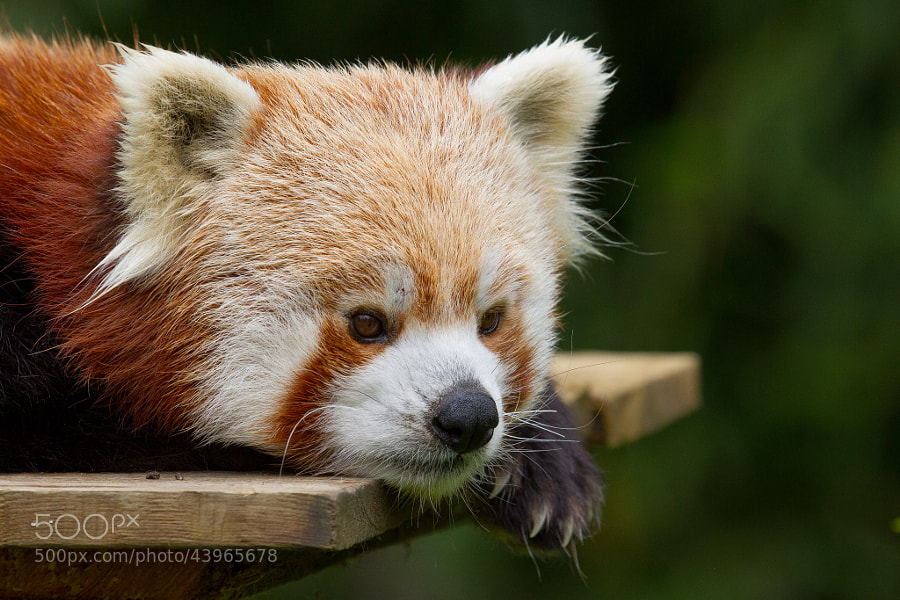 Photograph Red panda by Sébastien Davoust on 500px
