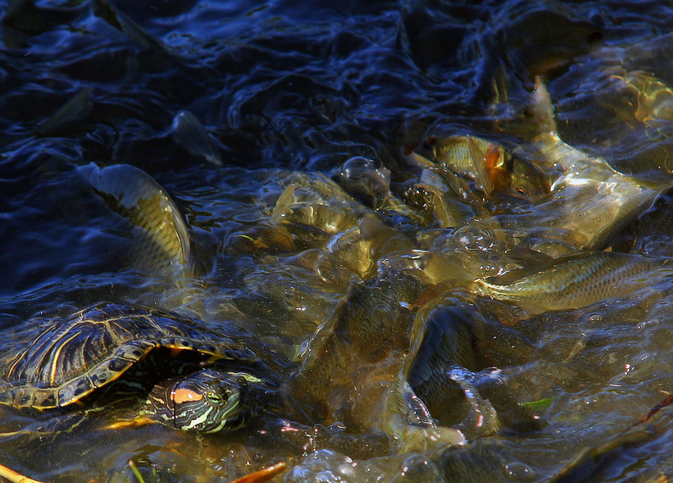 Photograph Turtle and fishes by Hakan  Sevgen on 500px