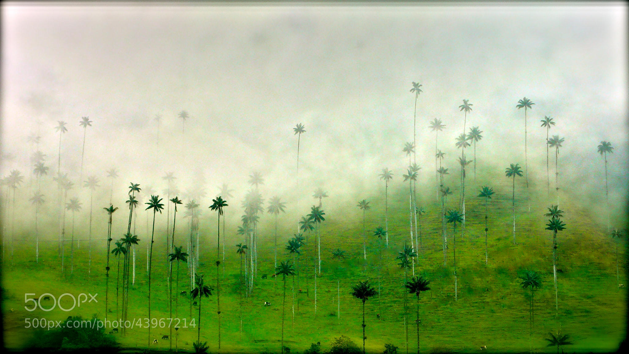 Photograph The tallest palm trees in the world! by oscar parra on 500px