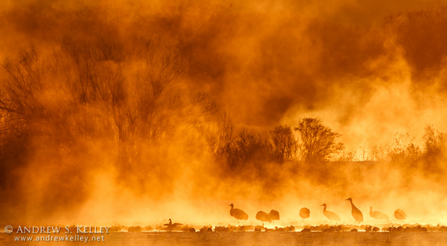 Photograph Sandhill Cranes in Backlit Fog by Andrew Kelley on 500px