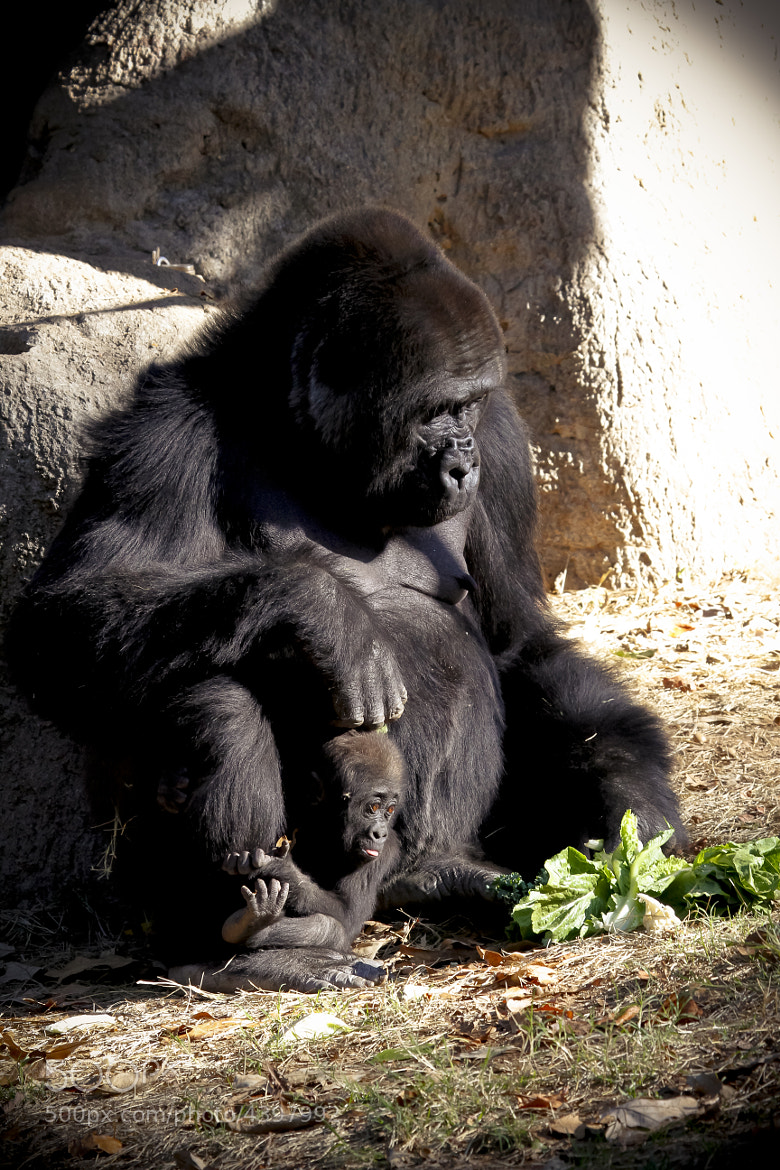 Photograph Gorilla with Baby_001 by P. Larson  on 500px