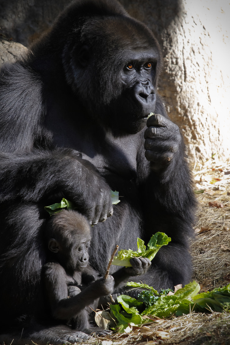 Photograph Gorilla with Baby_002 by P. Larson  on 500px