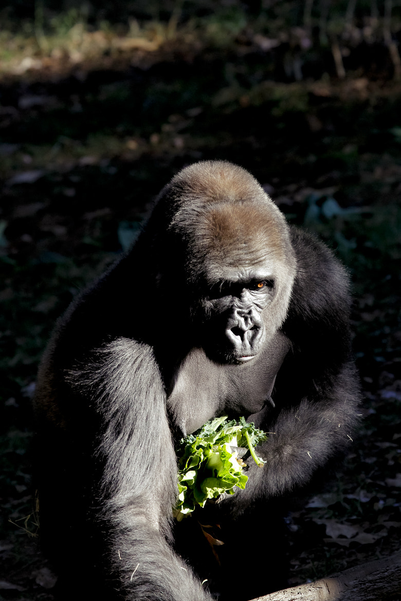 Photograph Female Gorilla by P. Larson  on 500px