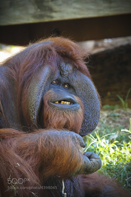 Photograph Male Orangutan by P. Larson  on 500px