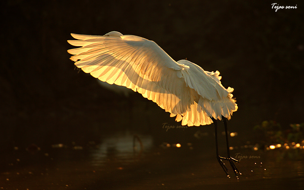 Photograph Great egret by Tejas Soni on 500px