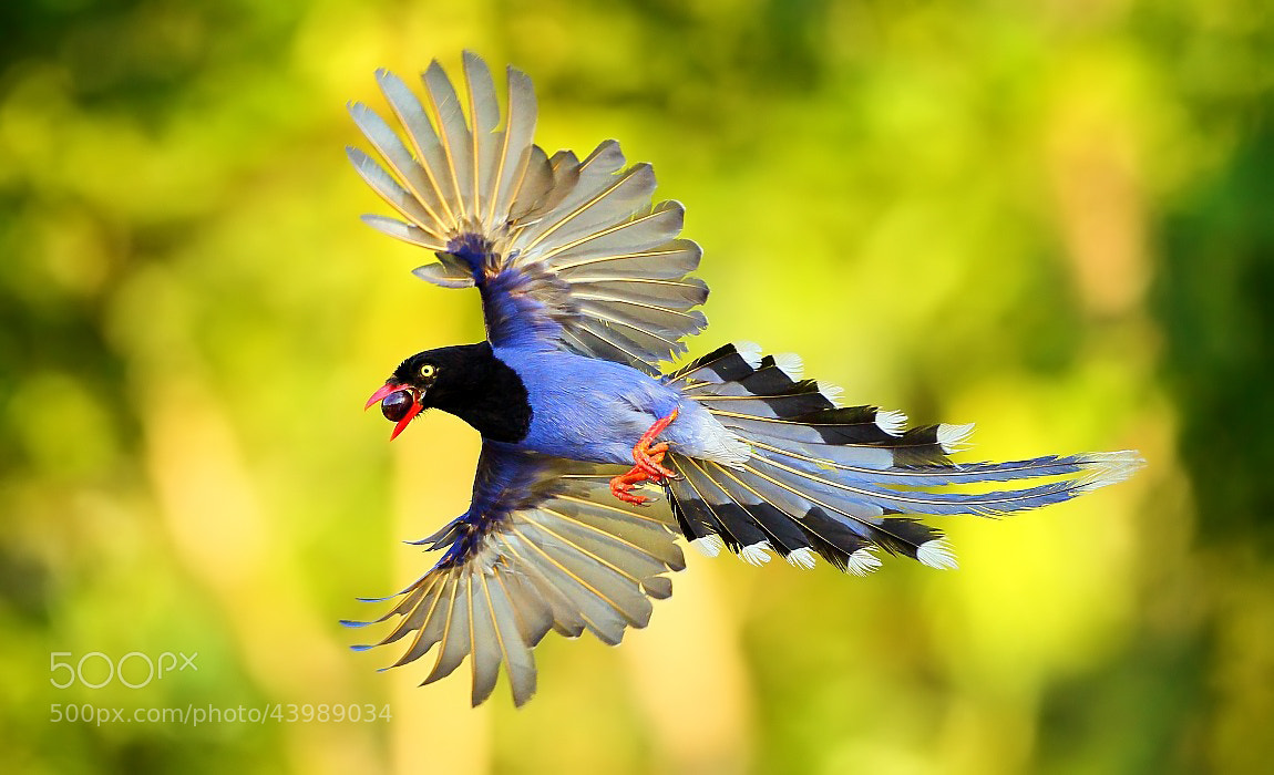 Photograph {Formosan Blue Magpie} by Dajan Chiou on 500px