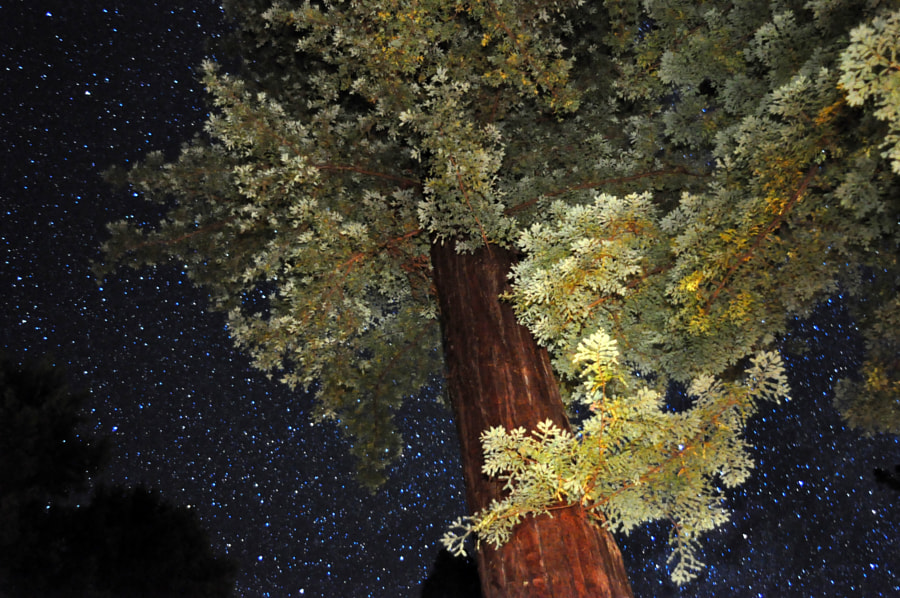 lightpainted redwood
