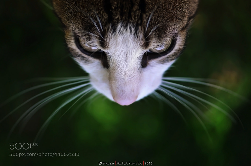 Photograph Shiny whiskers by Zoran Milutinovic on 500px