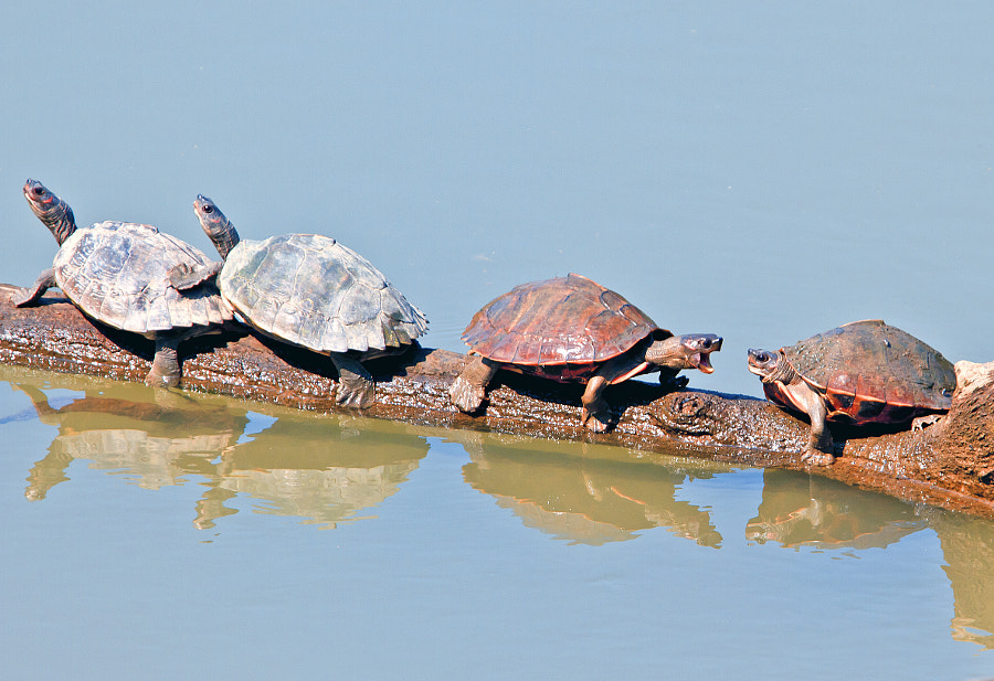 The four turtles were happily enjoying the sun when the last one got excited and started pushing resulting in two of them falling into the river. 