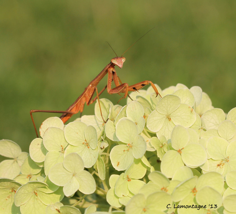 Praying Mantis on Snowball flower. Taken in my friend Barb D'Arpino's yard during my visit a few days ago.