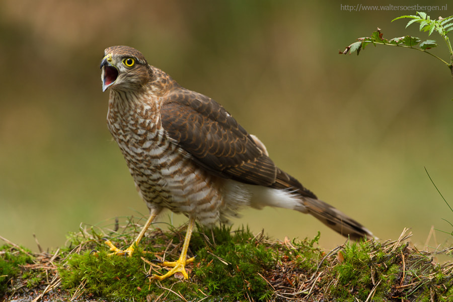 Photograph Sparrowhawk heaven by Walter Soestbergen on 500px