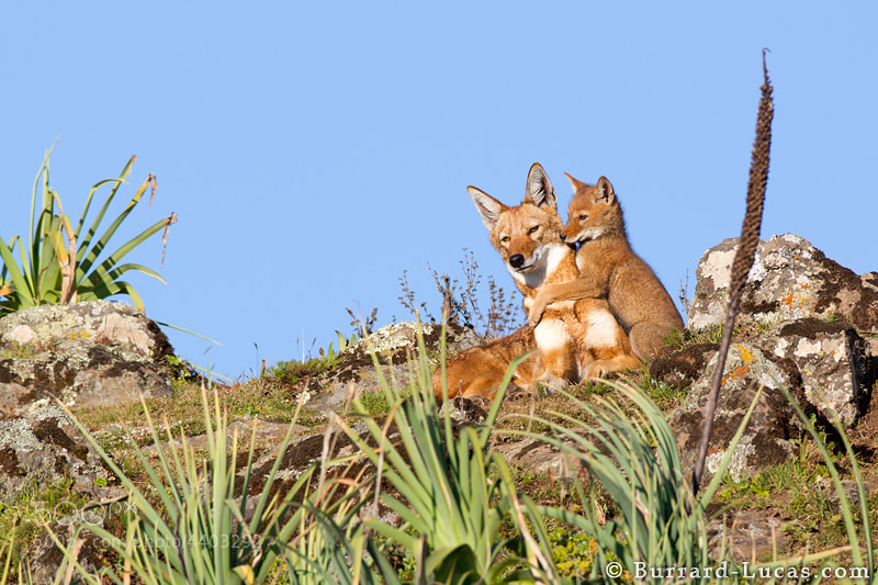 """A young Ethiopian wolf pup seeking some attention from big brother! It was wonderful to see all members of the wolf pack come together to feed, play with and protect the pups.  Ethiopian wolves are the world's rarest canid and Africa's most endangered carnivore. Today just over 400 survive in a handful of scattered populations in the Ethiopian highlands.  - <a href=""""http://www.ethiopianwolfproject.com/"""">Ethiopian Wolf Project</a>"""