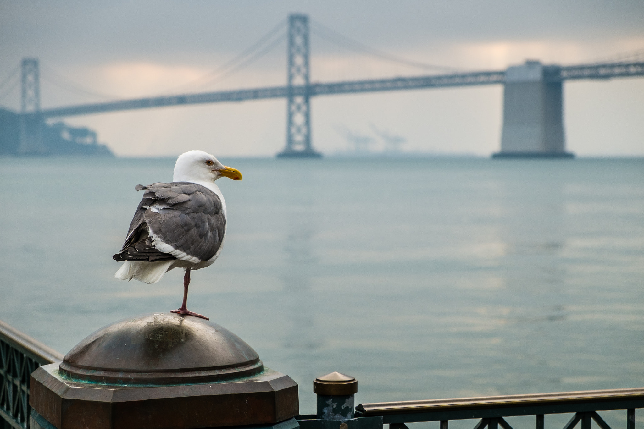 Photograph SF#1 - Lost Leg Seagull and Bay Bridge by Jérôme Gauthié on 500px