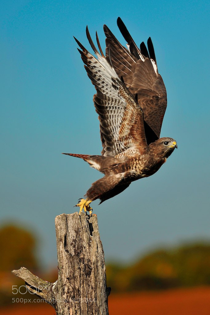 Photograph European Buzzard by Neil Harsant on 500px