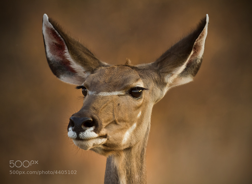 Photograph kudu by schalk engelbrecht on 500px