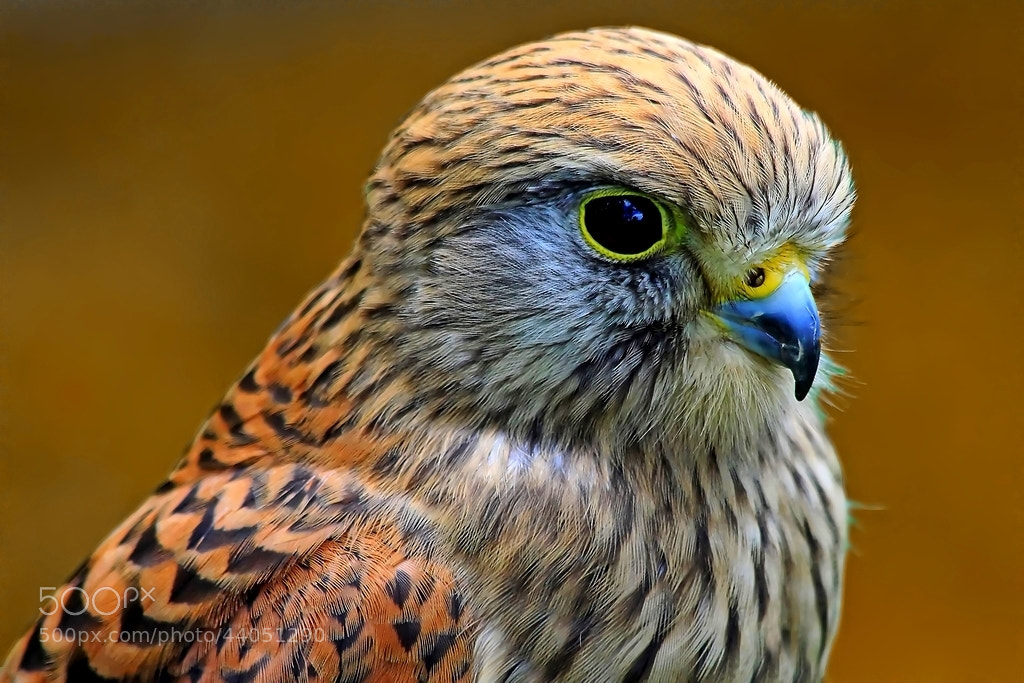 Photograph kestrel portrait by wise photographie on 500px