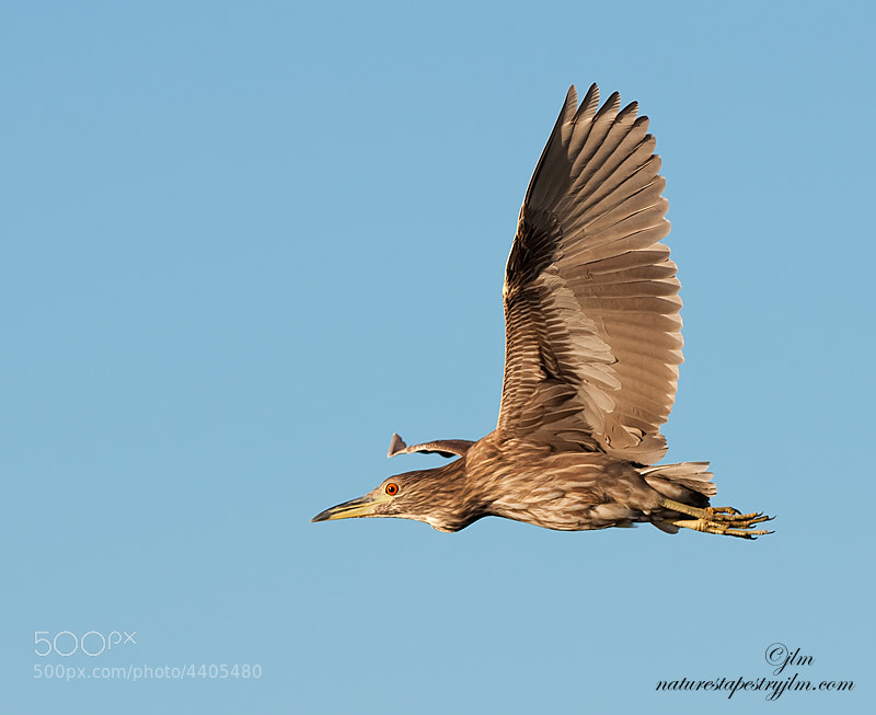 This is an image of a juvenile Black crown night heron captured in flight. They are seldom seen during the day as the ar basically more active at night but on occasions we get lucky.