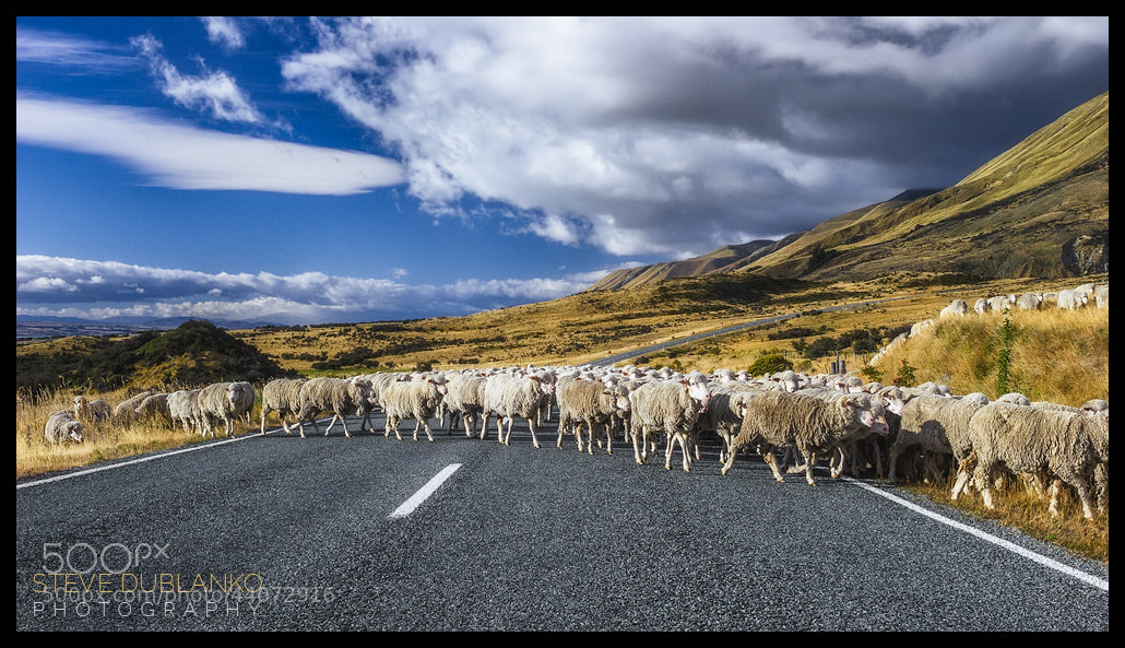 Photograph Land of the Sheep by Steve Dublanko on 500px