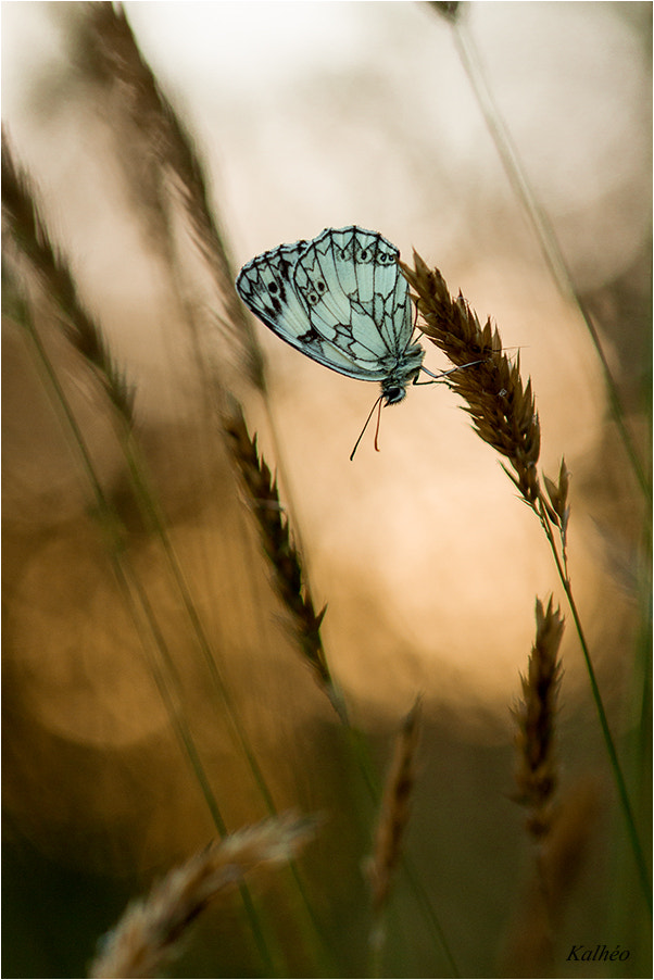 Photograph butterfly by florence Kalheo on 500px