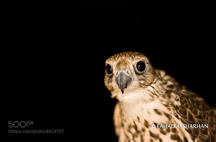 Saker Falcon.