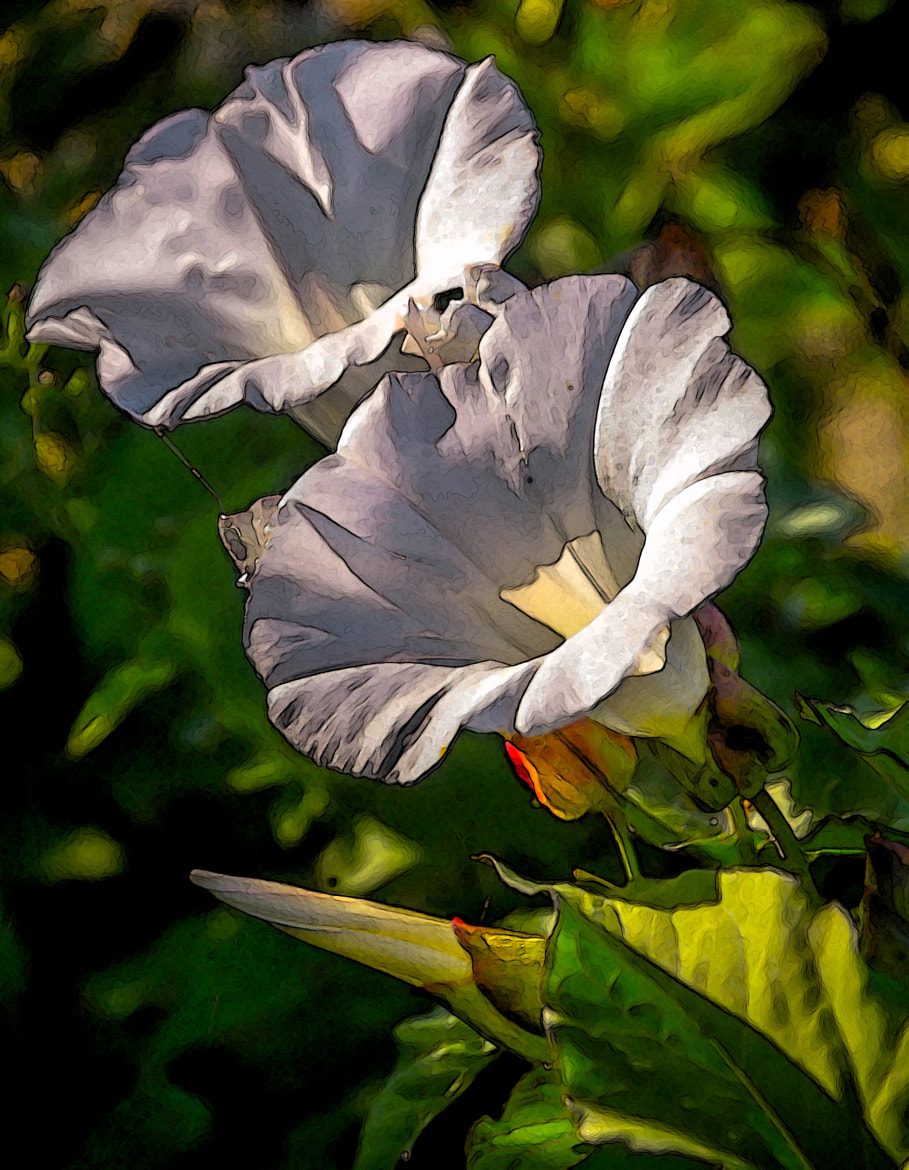 Photograph Morning Glories by Pandyce McCluer on 500px