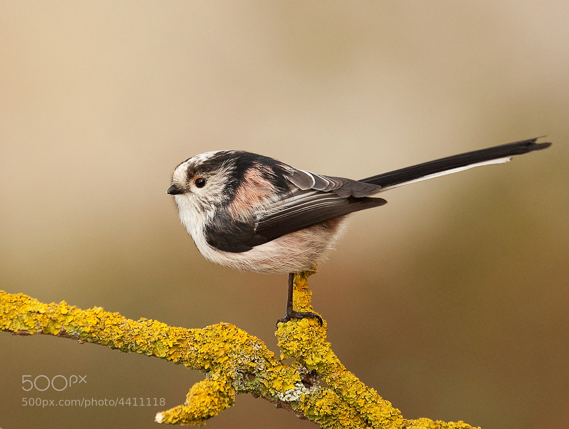 Photograph Long Tailed Tit by Phil Horton on 500px