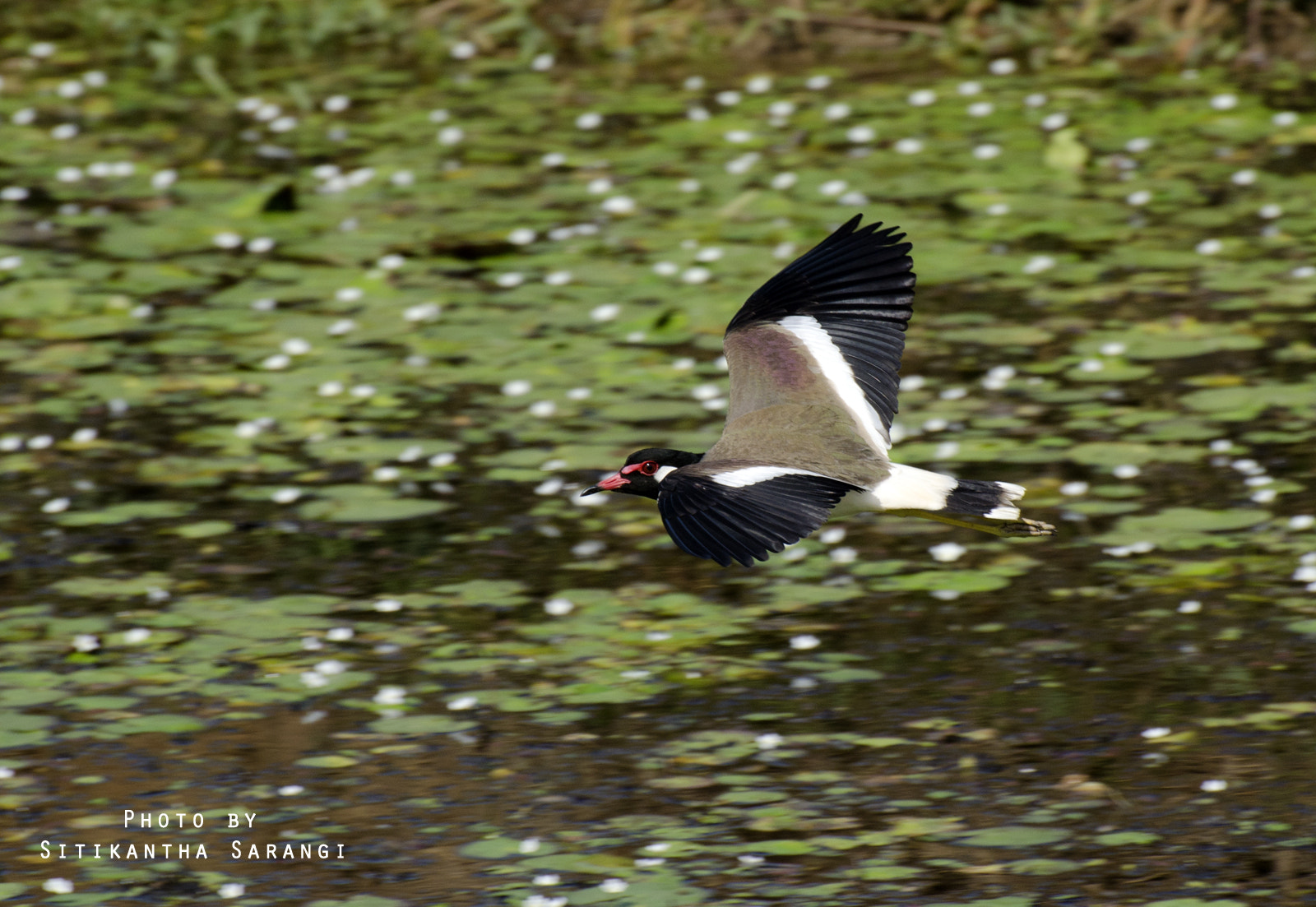 Photograph Red wattled Lapwing in flight by sitikantha sarangi on 500px