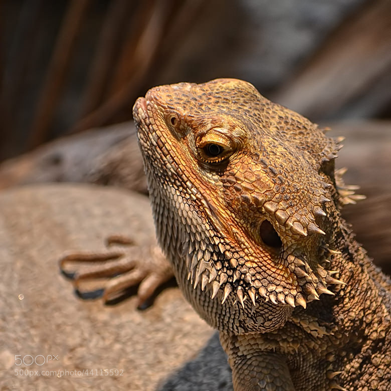 Bearded dragon #1