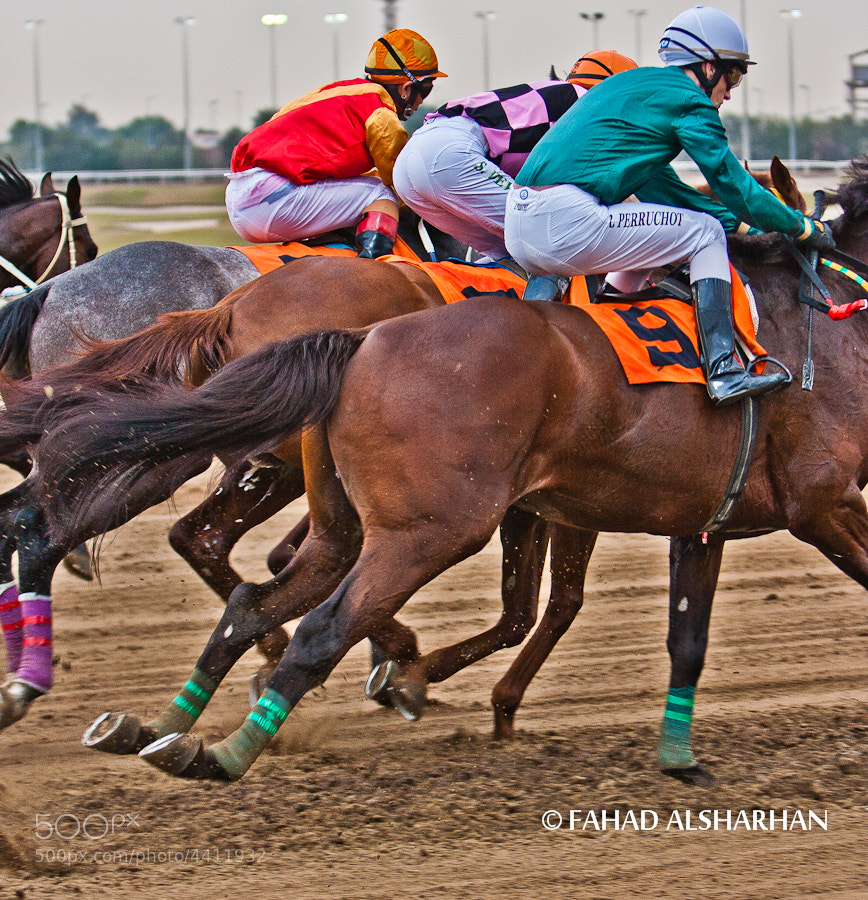 Start of a thoroughbred horse race in Kuwait.