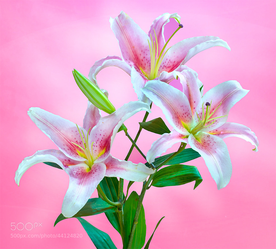 Photograph Lillies by Shobin George on 500px