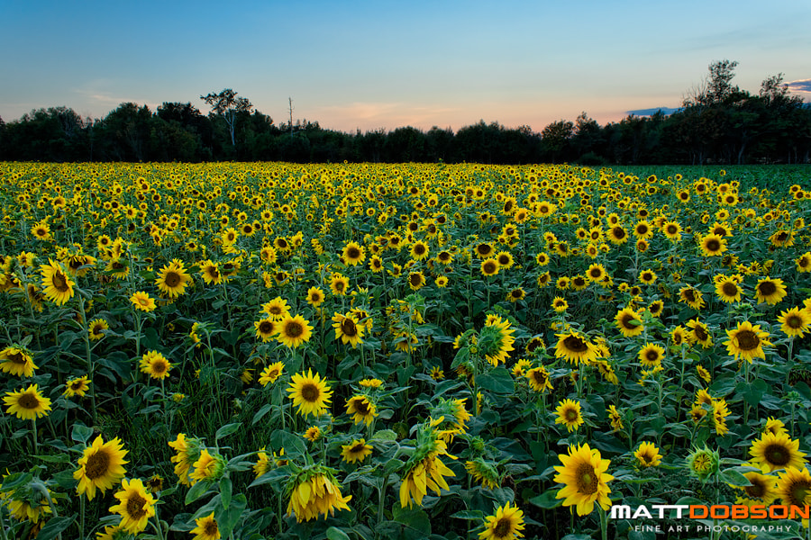Photograph Sunflowers at Dusk by Matt Dobson on 500px