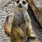 ������, ������: Meerkat posing better than Gisele B