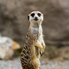 Постер, плакат: Meerkat posing better than Gisele B