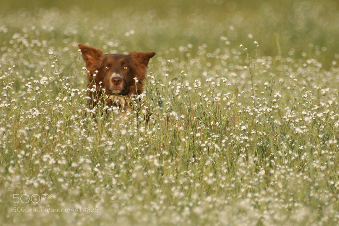 Photograph Working dog in wild flowers by Scott T.  Morrison on 500px