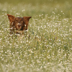 Working dog in wild flowers by Scott T.  Morrison (discoveryphoto)) on 500px.com