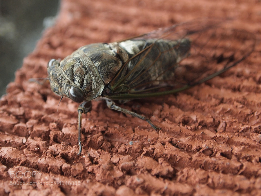 cicada on brick by Pearl Pirie on 500px.com