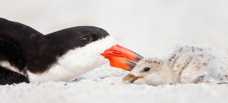 Photograph Black Skimmer Mom & Chick by Jess Yarnell on 500px
