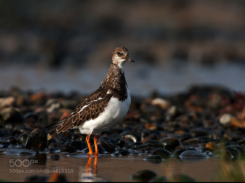 Photograph turnstone  by dave blackwell on 500px