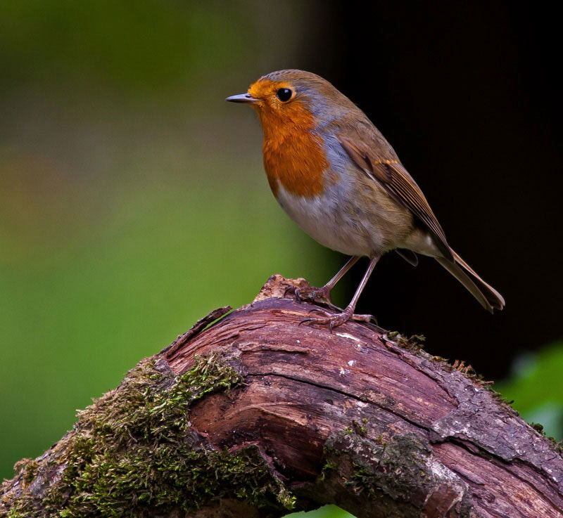 Photograph robin  by dave blackwell on 500px