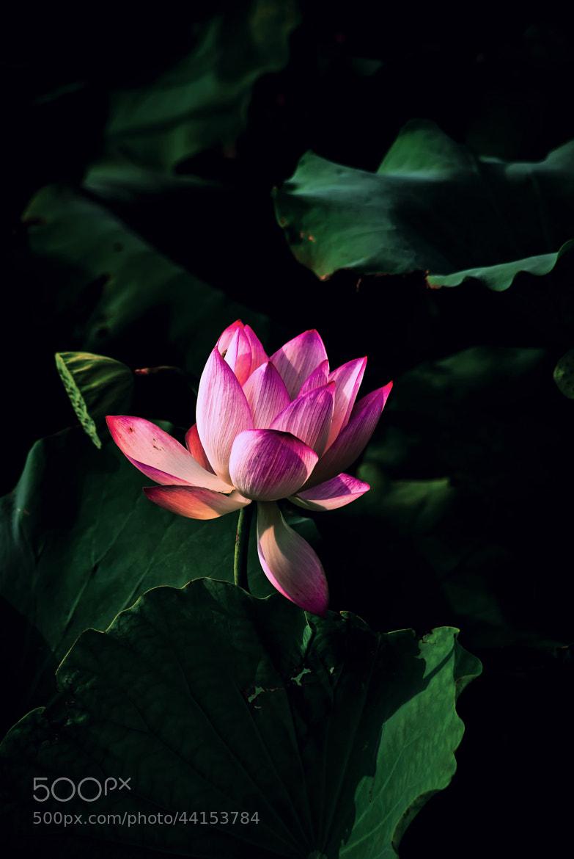 Photograph Lotus by DavidTanPhotos on 500px