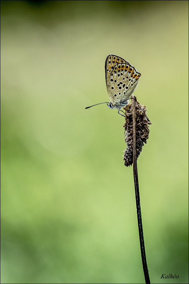Photograph Butterfly classic by florence Kalheo on 500px