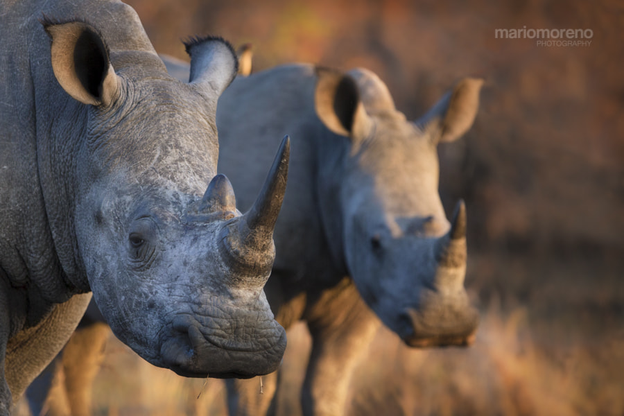 2 Rhinos by Mario Moreno on 500px.com