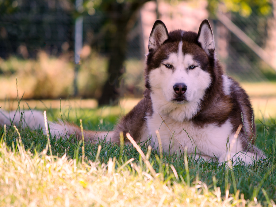 Photograph husky by Gunter Werner on 500px