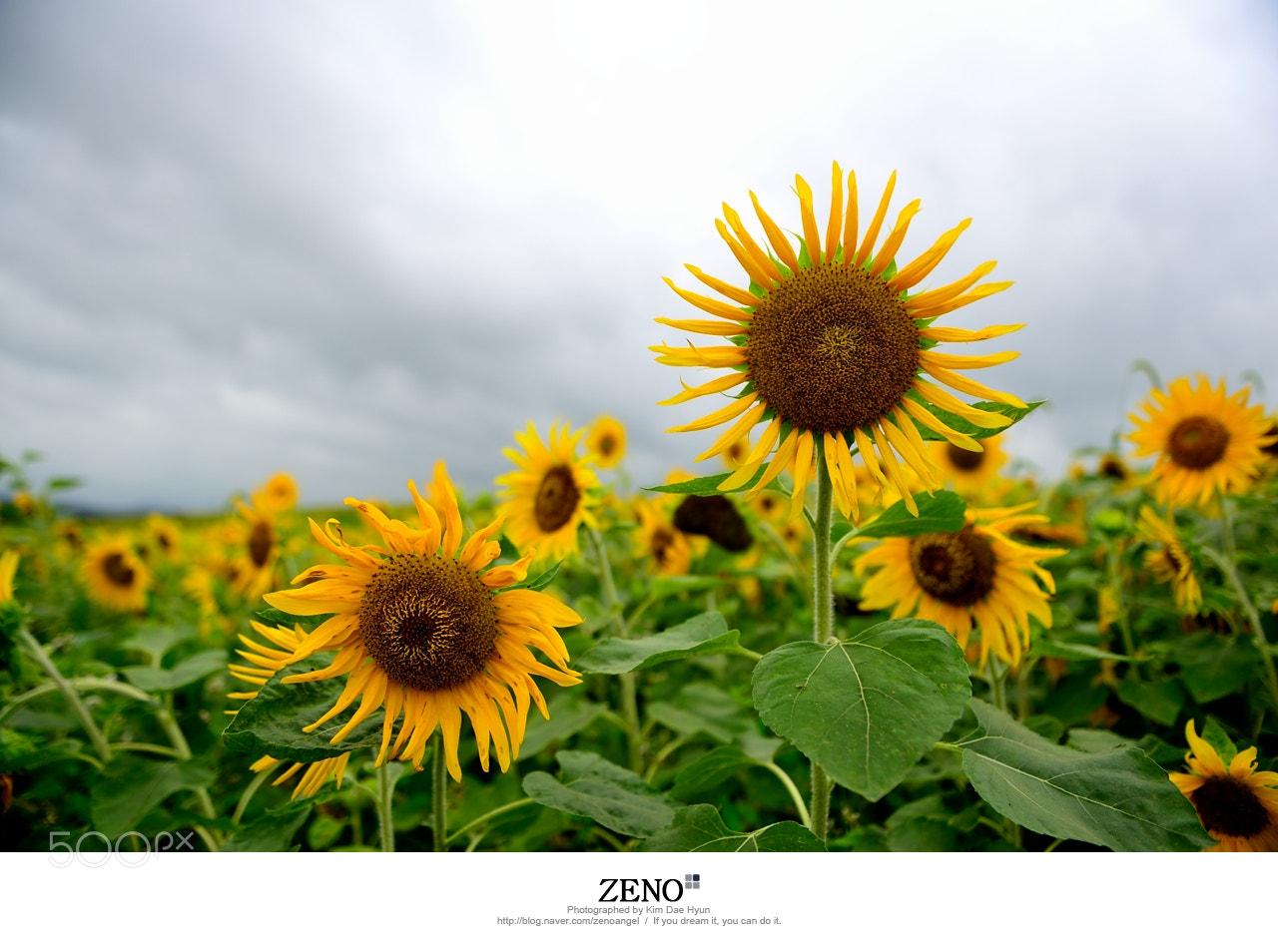 Photograph Sunflower by Kim DaeHyun on 500px