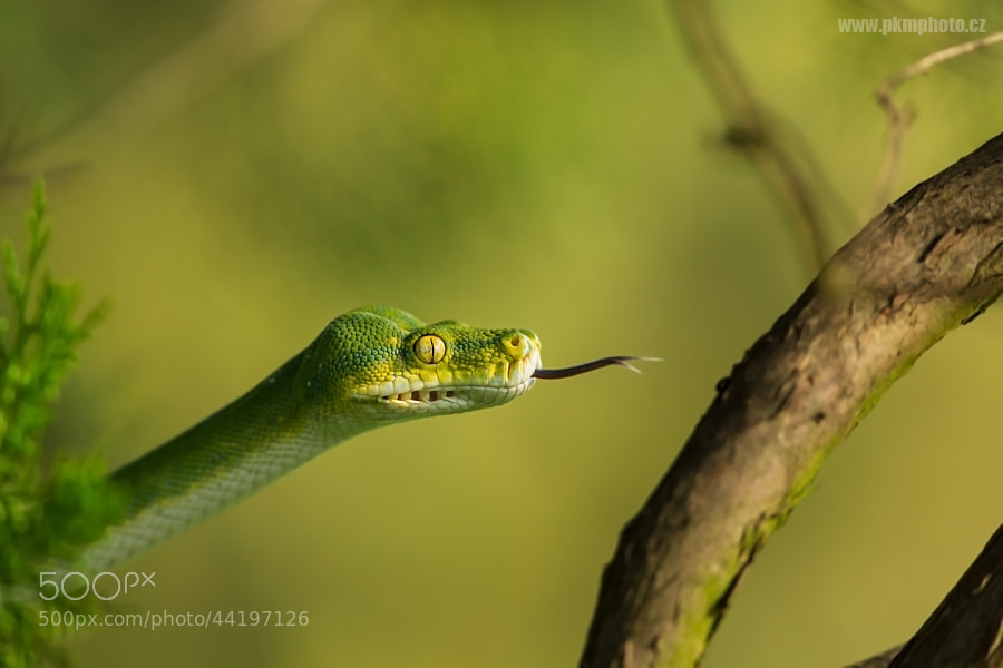 Photograph Green Tree Python by Peter Krejzl on 500px