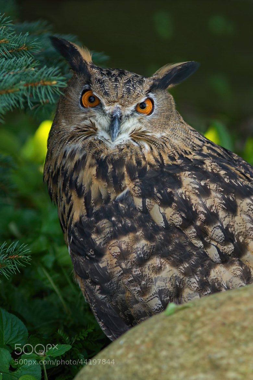 Photograph Eurasian Eagle Owl by Bill McCormack on 500px