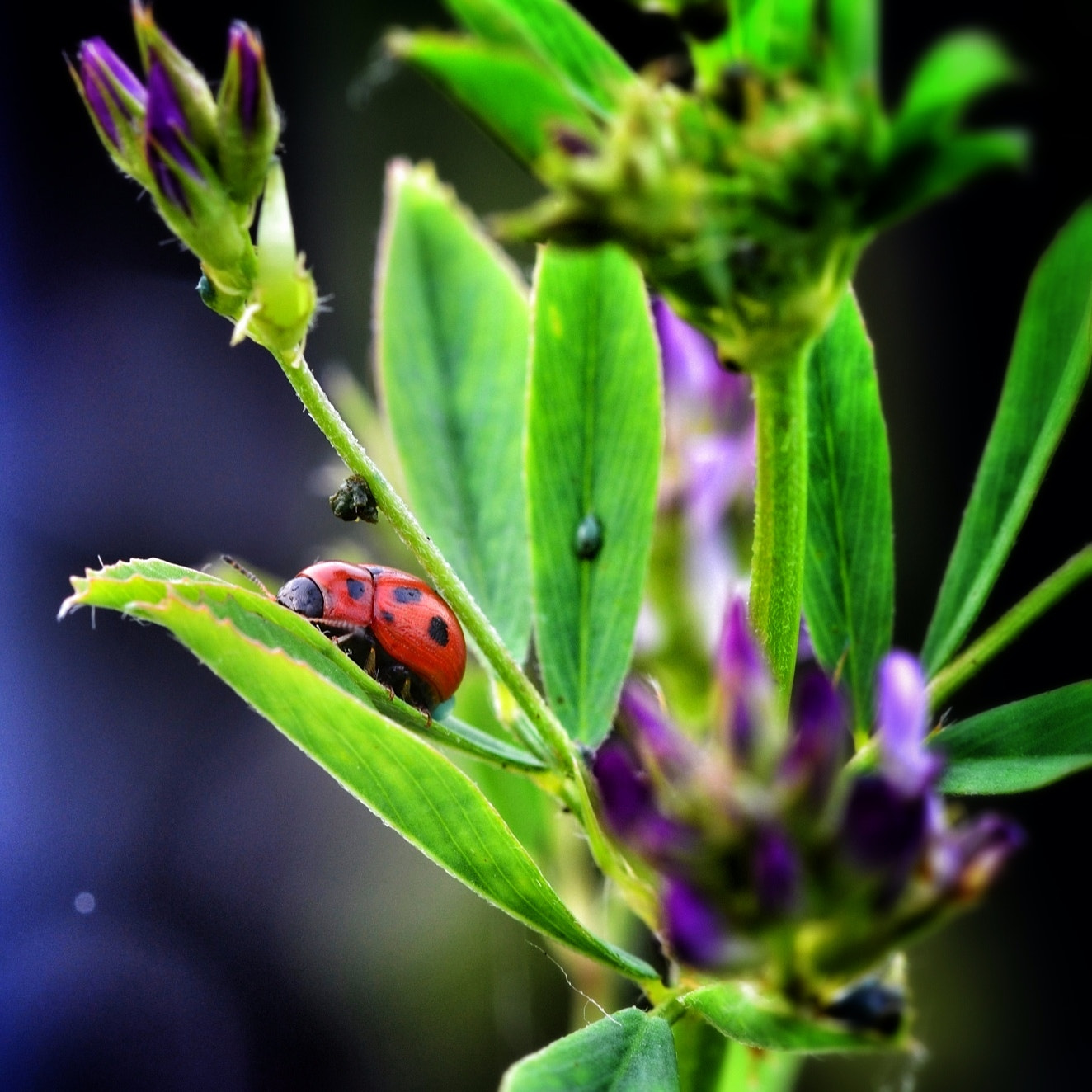 Photograph Colorful Ladybug by Silvia Peschiera on 500px