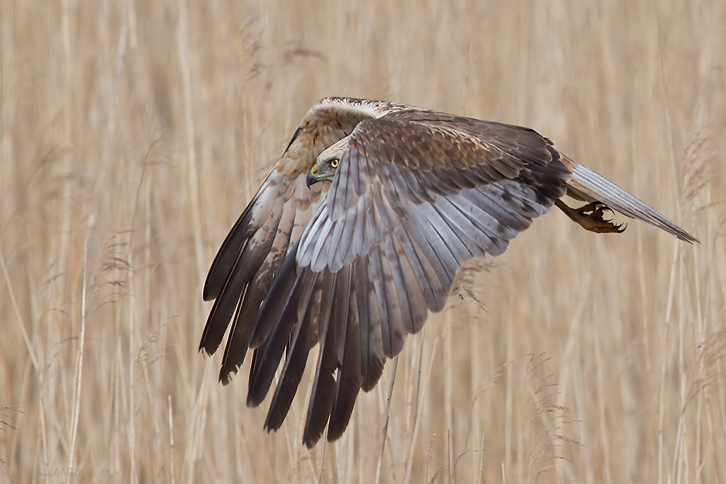 Photograph Fly By - Western Marsh Harrier by Siegfried Noët on 500px