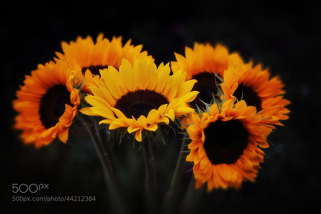 Photograph Sun Flowers by Ceri Jones on 500px