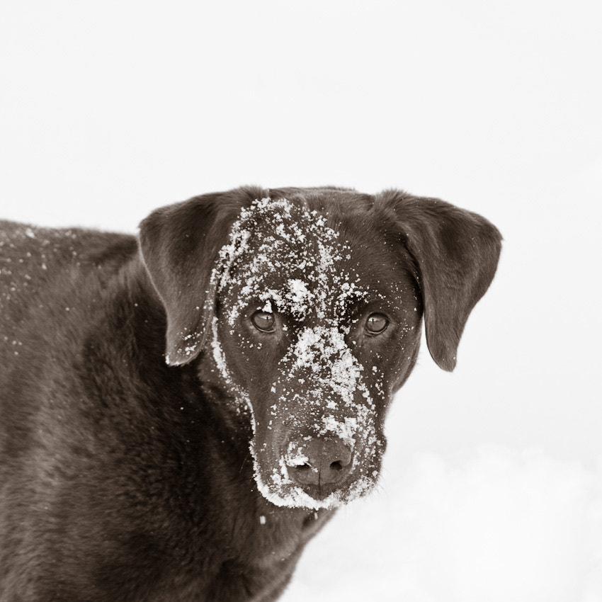 Photograph Snowy Lab by Aaron English on 500px